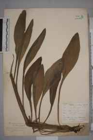 Cynoglossum officinale herbarium specimen from Keston, VC16 West Kent in 1901 by William Henry Griffin.