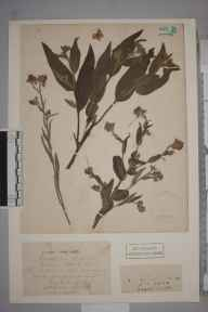 Cynoglossum officinale herbarium specimen from Otterbourne, VC11 South Hampshire in 1836 by J Breach.