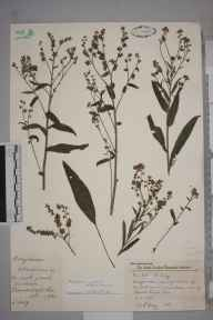 Cynoglossum amabile herbarium specimen from Wimbledon, VC17 Surrey in 1957 by Charles Avery.