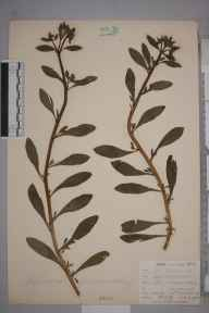 Asperugo procumbens herbarium specimen from Harbledown, VC15 East Kent in 1902 by William Henry Griffin.