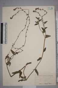 Amsinckia  herbarium specimen from Little Cheverell, VC8 South Wiltshire in 1954.