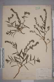 Amsinckia  herbarium specimen from Par, VC2 East Cornwall in 1902 by Mr Frederick Hamilton Davey.