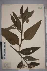 Symphytum officinale herbarium specimen from River Lea, VC21 Middlesex in 1834 by Joseph Woods.
