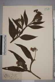 Symphytum officinale herbarium specimen from Twycross, VC55 Leicestershire in 1843 by Mr Frederick Townsend.