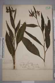 Symphytum officinale herbarium specimen from Wicken Fen, VC29 Cambridgeshire in 1885.