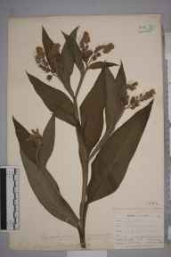 Symphytum officinale herbarium specimen from Taplow, VC24 Buckinghamshire in 1898 by Mr Allan Octavian Hume.