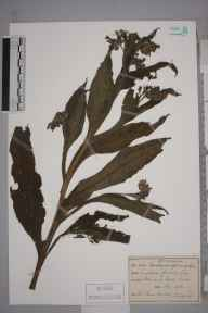 Symphytum officinale herbarium specimen from Racton, VC13 West Sussex in 1926 by Rev Canon Teesdale.