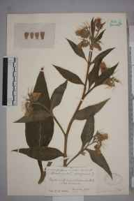 Symphytum officinale herbarium specimen from Gatcombe Mill, VC6 North Somerset in 1926 by Mr James Walter White.