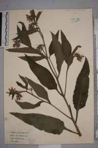 Symphytum officinale x asperum = S. x uplandicum herbarium specimen from Orpington, VC16 West Kent in 1921 by William Robert Sherrin.