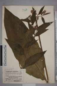 Symphytum officinale x asperum = S. x uplandicum herbarium specimen from Prestbury, VC33 East Gloucestershire in 1910 by Mr Charles Bailey.