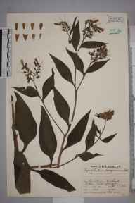 Symphytum officinale x asperum = S. x uplandicum herbarium specimen from Niton, VC10 Isle of Wight in 1930 by Mr Job Edward Lousley.