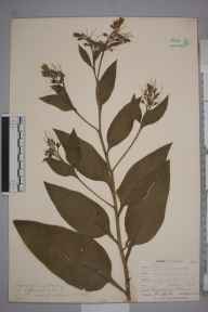Symphytum officinale var. patens herbarium specimen from Gerrans, VC1 West Cornwall in 1900 by Mr Frederick Hamilton Davey.