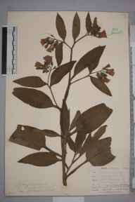 Symphytum officinale var. patens herbarium specimen from Goonhilly Downs, VC1 West Cornwall in 1899 by Mr Allan Octavian Hume.
