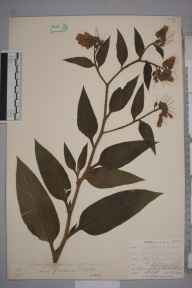 Symphytum officinale var. patens herbarium specimen from Lostwithiel, VC2 East Cornwall in 1901 by Mr Allan Octavian Hume.