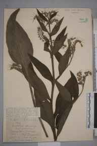 Symphytum  herbarium specimen from Hitchin, VC20 Hertfordshire in 1921 by Mr Joseph Edward Little.