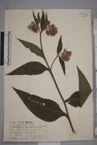 Symphytum  herbarium specimen from Ewell, VC17 Surrey in 1916 by Mr Charles Edward Britton.