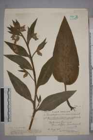 Symphytum  herbarium specimen from Chew Magna, VC6 North Somerset in 1915 by Mr James Walter White.