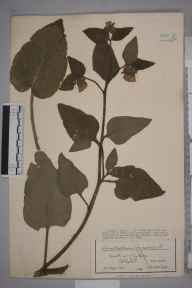 Symphytum orientale herbarium specimen from Bristol, Clifton, VC34 West Gloucestershire in 1918 by Mr James Walter White.