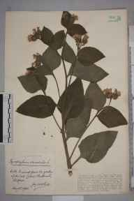Symphytum orientale herbarium specimen from Clifton, VC34 West Gloucestershire in 1930 by Mr James Walter White.