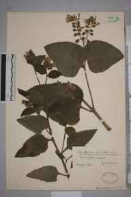 Symphytum orientale herbarium specimen from Clifton, VC34 West Gloucestershire in 1932 by Mr James Walter White.