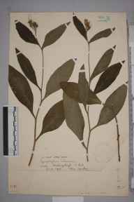 Symphytum tuberosum herbarium specimen from Hastingleigh, VC15 East Kent in 1903 by Miss  Sankey.