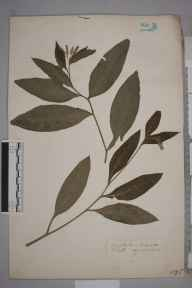 Symphytum tuberosum herbarium specimen from Tunbridge Wells, VC16 West Kent in 1909.