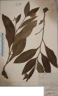 Symphytum tuberosum herbarium specimen from Slinfold, VC13 West Sussex in 1835 by Joseph Woods.