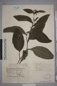Symphytum tuberosum herbarium specimen from River Findhorn, VC95 Moray in 1929 by Mr Joseph Edward Little.