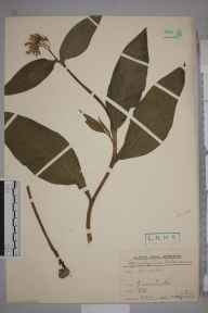 Symphytum tuberosum herbarium specimen from Greenhithe, VC16 West Kent by Rev. Philip Henry Cooke.