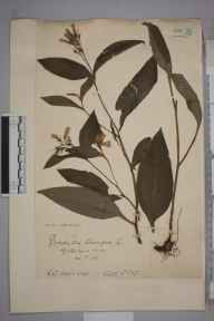 Symphytum tuberosum herbarium specimen from Stanmore Common, VC21 Middlesex in 1904 by Charles Baylis Green.
