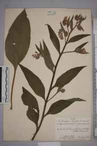 Symphytum  herbarium specimen from Gatcombe Mill, VC6 North Somerset in 1918 by Mr James Walter White.