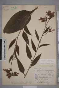 Symphytum officinale x asperum = S. x uplandicum herbarium specimen from Foy, VC36 Herefordshire in 1886 by Rev. Augustin Ley.