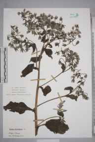 Borago officinalis herbarium specimen collected by Frank Hatton Brightman.
