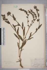 Anchusa officinalis herbarium specimen from Norwood, VC17 Surrey in 1906 by William Henry Griffin.