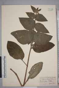 Pentaglottis sempervirens herbarium specimen from Wells, VC6 North Somerset in 1852 by Mr Frederick Townsend.