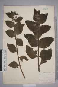 Pentaglottis sempervirens herbarium specimen from Loe Pool, VC1 West Cornwall in 1899 by Mr Allan Octavian Hume.