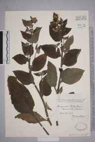 Pentaglottis sempervirens herbarium specimen from Hillesley, VC34 West Gloucestershire in 1911 by Mr James Walter White.
