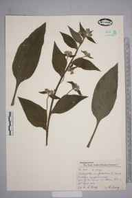 Pentaglottis sempervirens herbarium specimen from Wimbledon, VC17 Surrey in 1957 by Charles Avery.