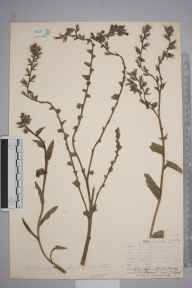 Anchusa  herbarium specimen from Leith Docks, VC83 Midlothian in 1906 by James Fraser.