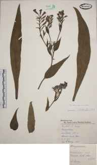 Anchusa azurea herbarium specimen from Wimbledon, VC17 Surrey in 1957 by Charles Avery.