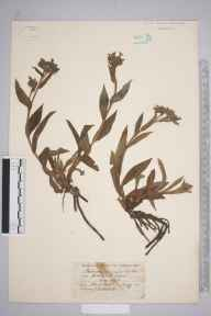 Pulmonaria longifolia herbarium specimen from Ryde, VC10 Isle of Wight in 1840 by T Bell-Salter.