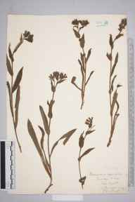 Pulmonaria longifolia herbarium specimen from Brading, VC10 Isle of Wight in 1844 by A Hamburgh.