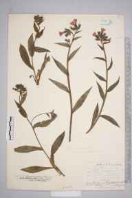 Pulmonaria longifolia herbarium specimen from Brockenhurst, VC11 South Hampshire in 1904 by William Henry Griffin.