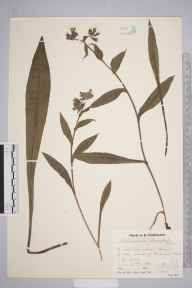 Pulmonaria longifolia herbarium specimen from Sway, VC11 South Hampshire in 1934 by Mr Job Edward Lousley.