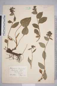 Pulmonaria officinalis herbarium specimen from Medstead, VC12 North Hampshire in 1885 by Henry Purefoy Fitzgerald.
