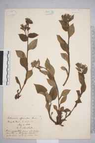 Pulmonaria officinalis herbarium specimen from Burgate, VC25 East Suffolk in 1888 by Rev. Edward Shearburn Marshall.