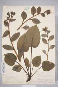Pulmonaria officinalis herbarium specimen from Woldingham, VC17 Surrey in 1907 by William Henry Griffin.