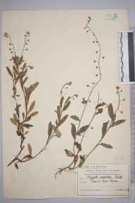 Myosotis laxa subsp. caespitosa herbarium specimen from Lower Morden, VC17 Surrey in 1909 by Mr Charles Edward Britton.