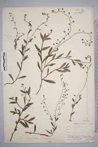 Myosotis laxa subsp. caespitosa herbarium specimen from Point Lynas, VC52 Anglesey in 1905 by Mr Allan Octavian Hume.