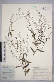 Myosotis laxa subsp. caespitosa herbarium specimen from Mitcham Common, VC17 Surrey in 1958 by Charles Avery.